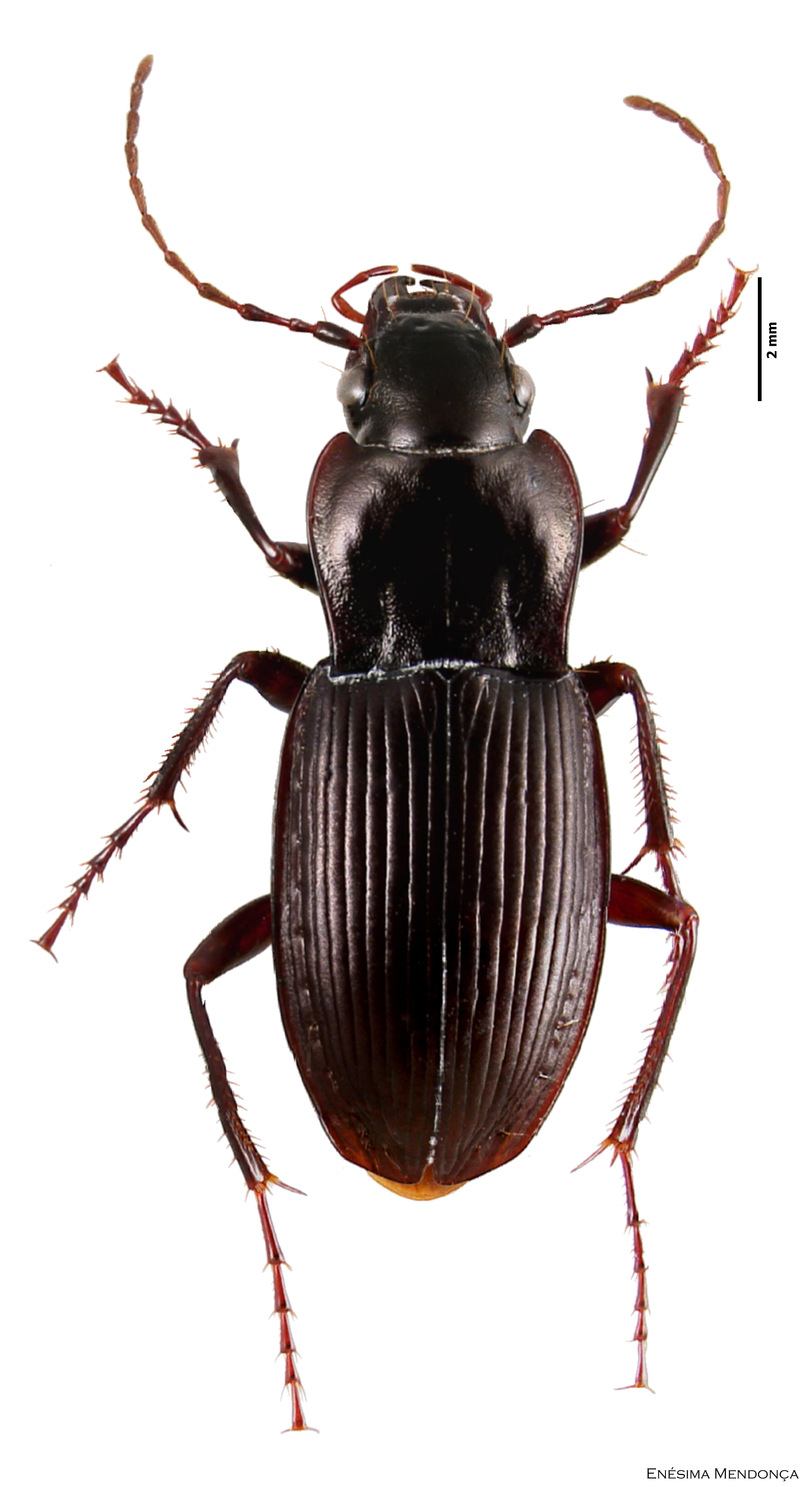 Conservation status of the forest beetles (Insecta
