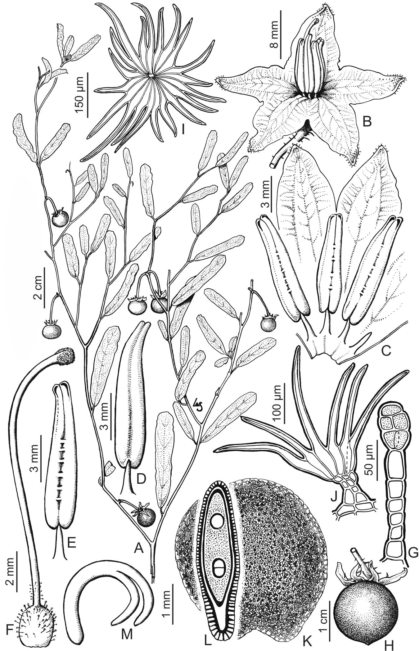 A revision of the Solanum elaeagnifolium clade (Elaeagnifolium clade ...