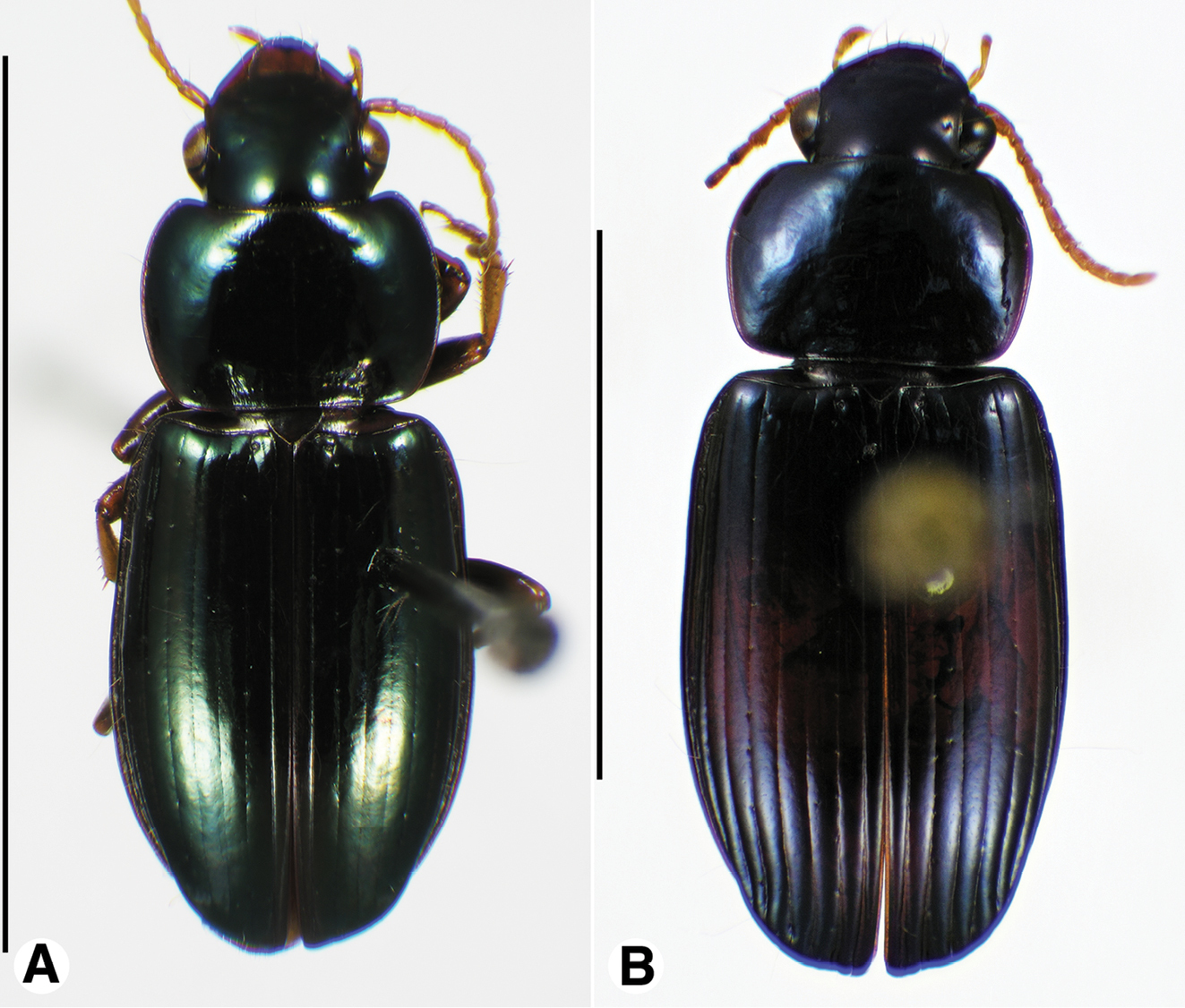 A taxonomic review of the Selenophori group (Coleoptera