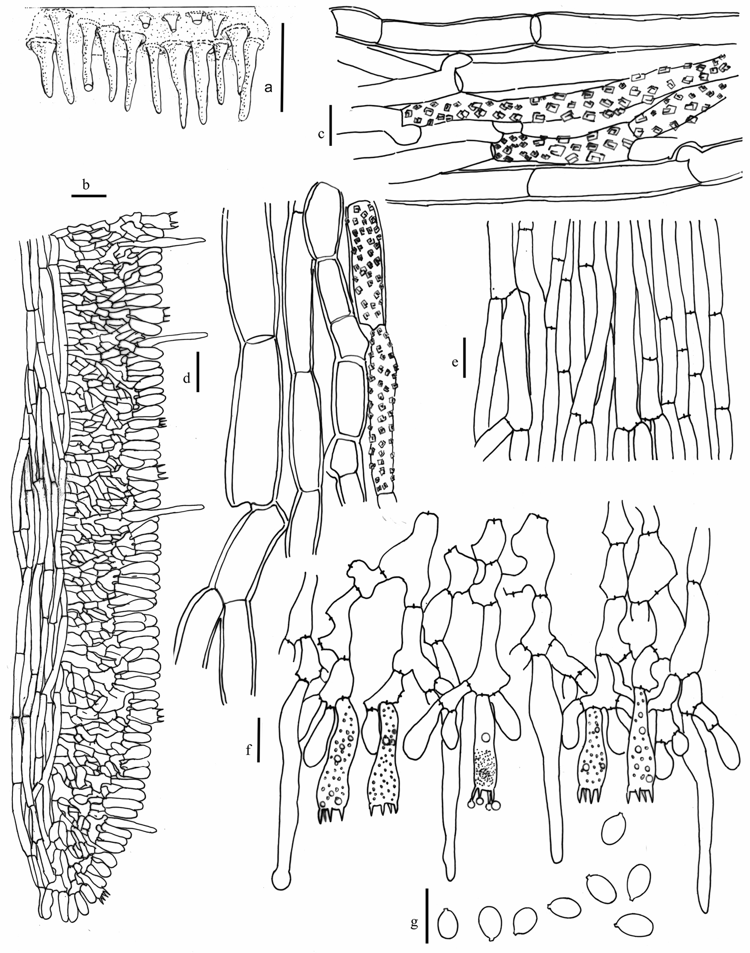Three new species of Hydnophlebia (Polyporales