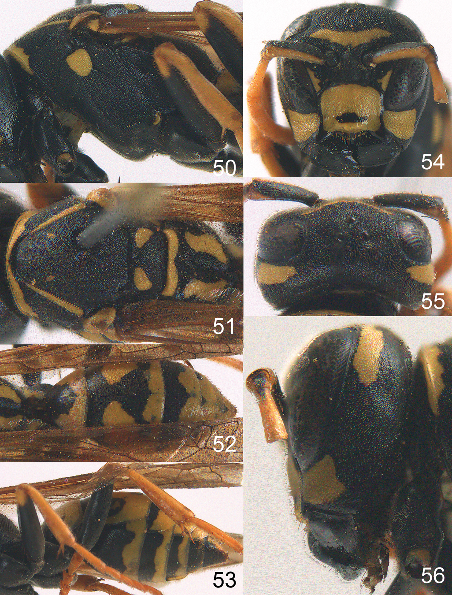 Revision of the West Palaearctic Polistes Latreille, with