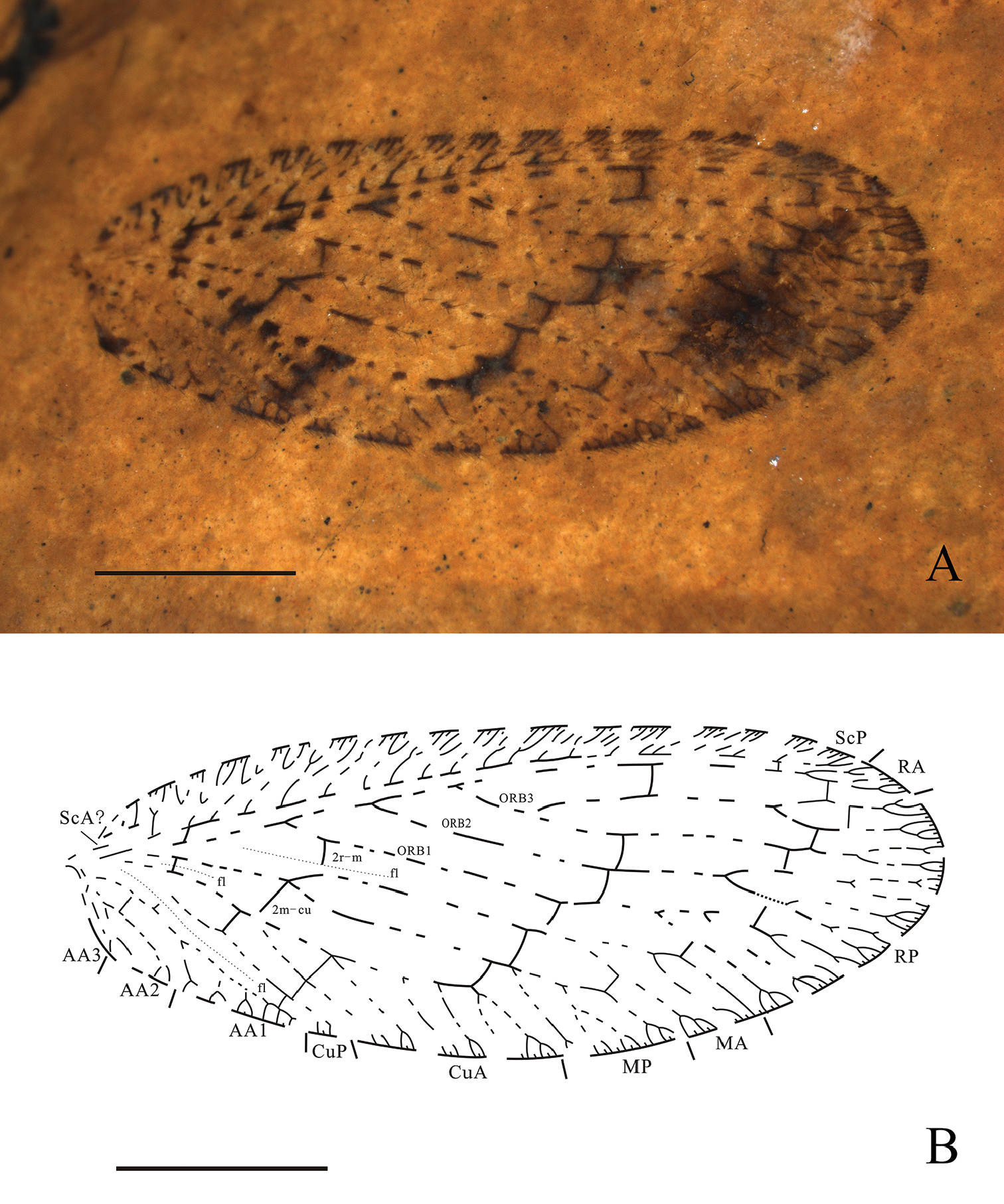 The first fossil brown lacewing from the Miocene of the