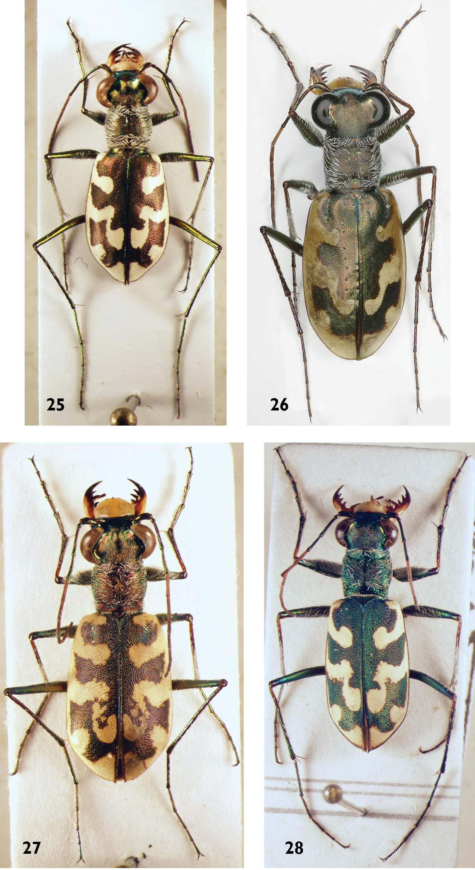 Rafi et al. Faunistics of tiger beetles (Coleoptera: Cicindelidae) from (2009)
