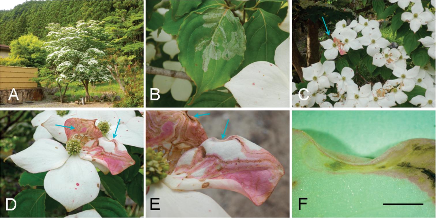 Systematics Of Phyllocnistis Leaf Mining Moths Lepidoptera Gracillariidae Feeding On Dogwood Cornus Spp In Northeast Asia With The Description Of Three New Species