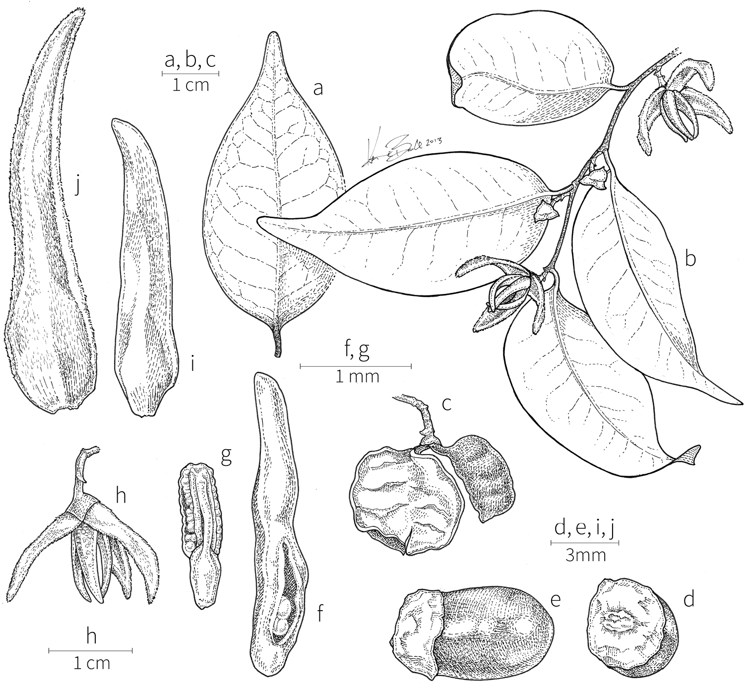 946 East Main Tree Now Obscures >> A Revision Of Xylopia L Annonaceae The Species Of Tropical Africa