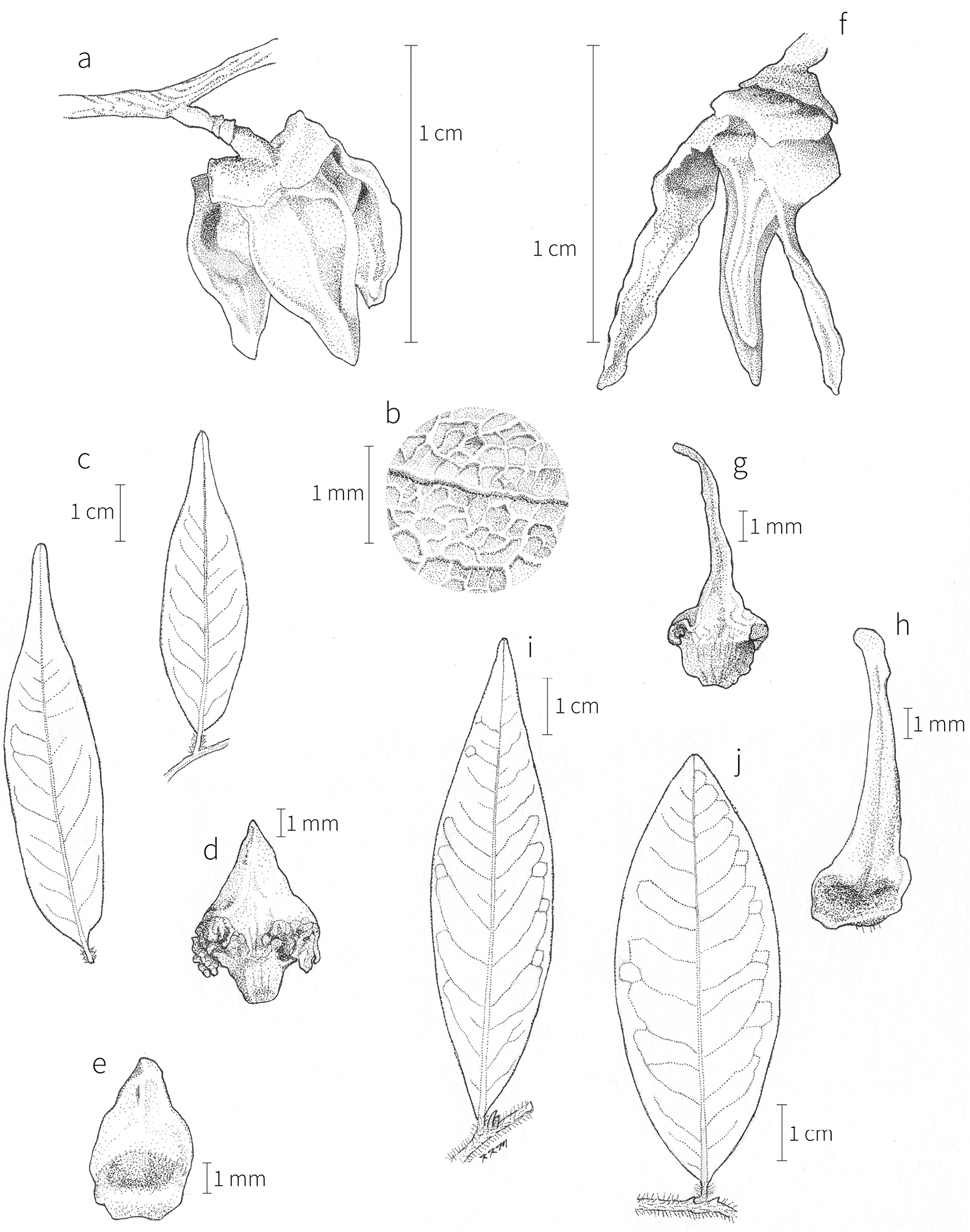 9a8b5becf1d2 A revision of Xylopia L. (Annonaceae)  the species of Tropical Africa