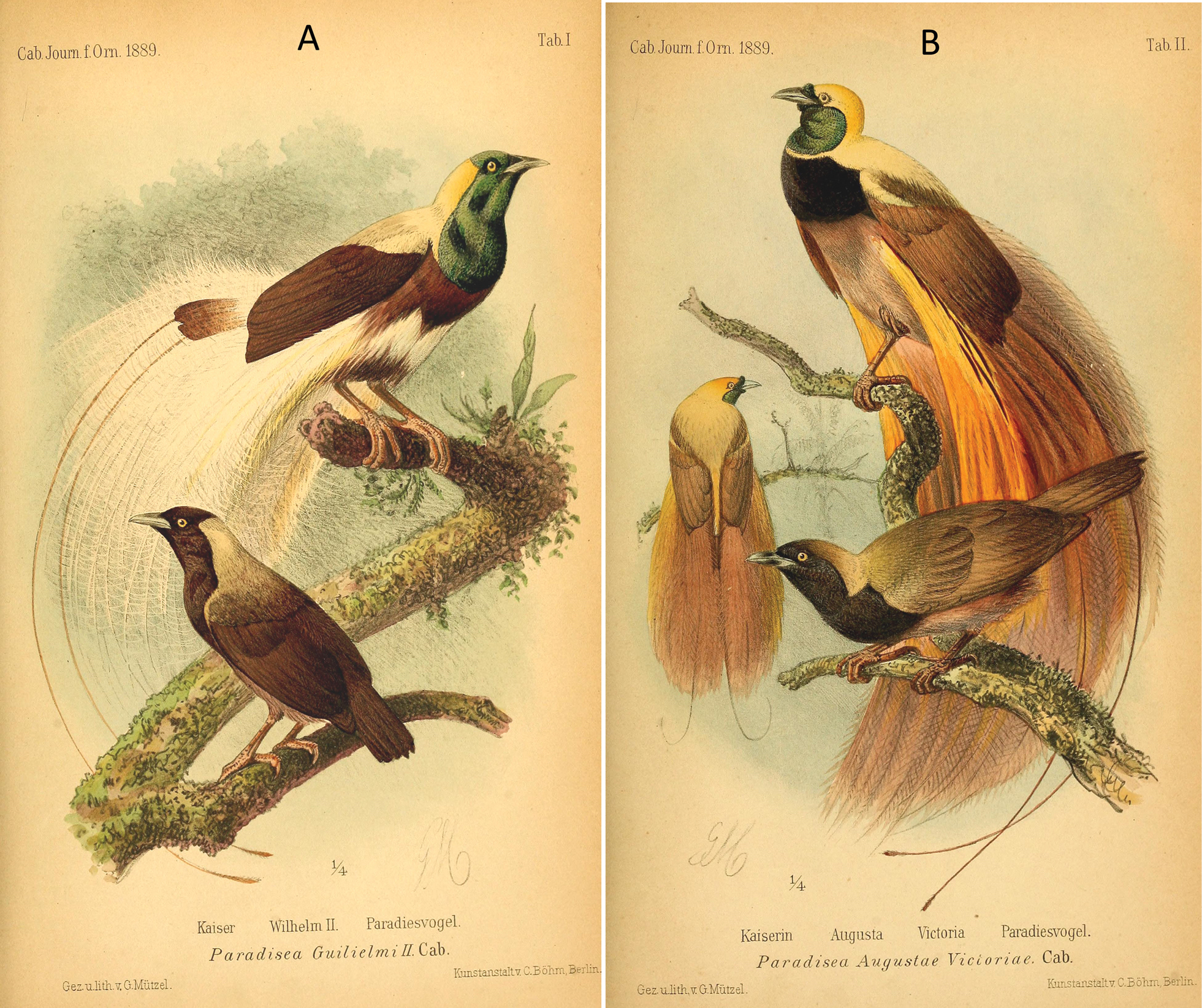 Discovery of a rare hybrid specimen known as Maria's bird of