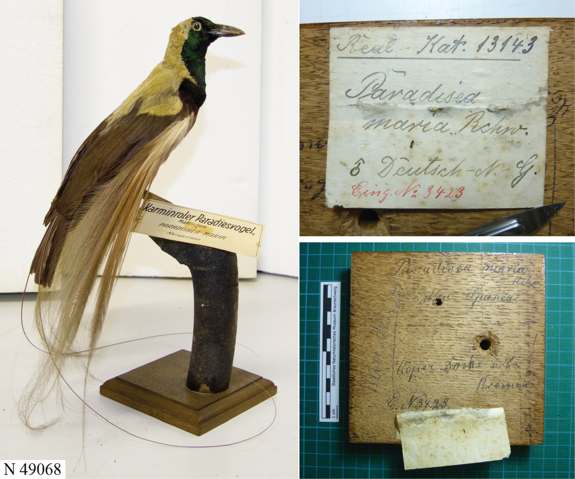 Discovery of a rare hybrid specimen known as Maria's bird of ... on