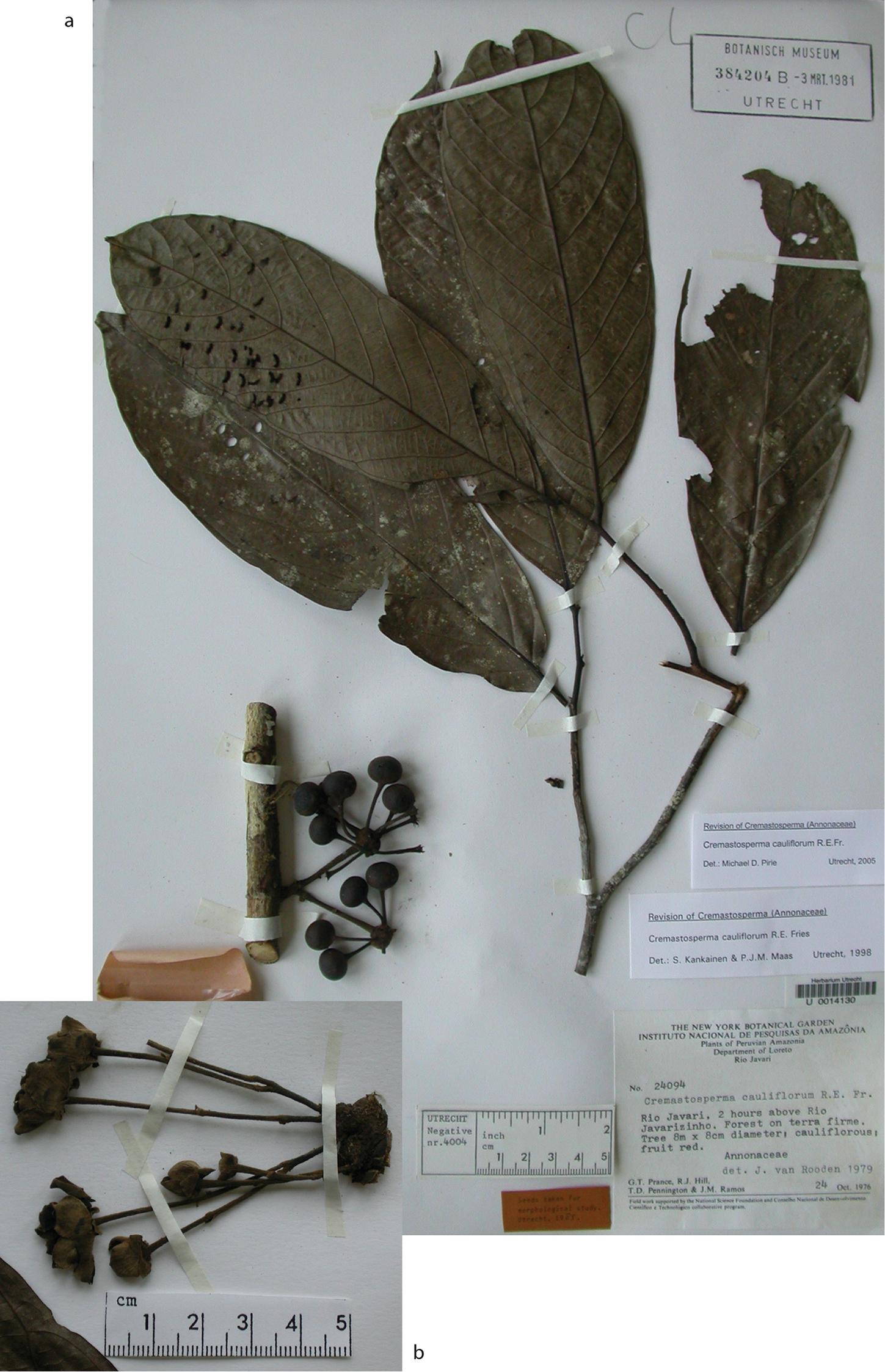 A taxonomic revision of the Neotropical genus Cremastosperma