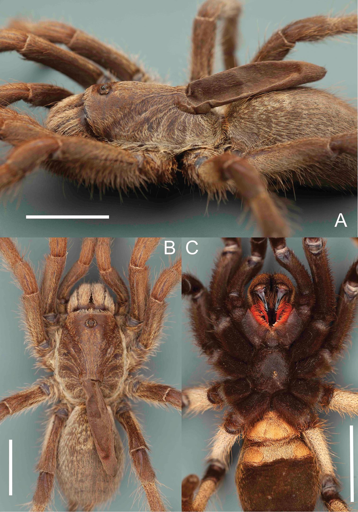 Angolan Spider