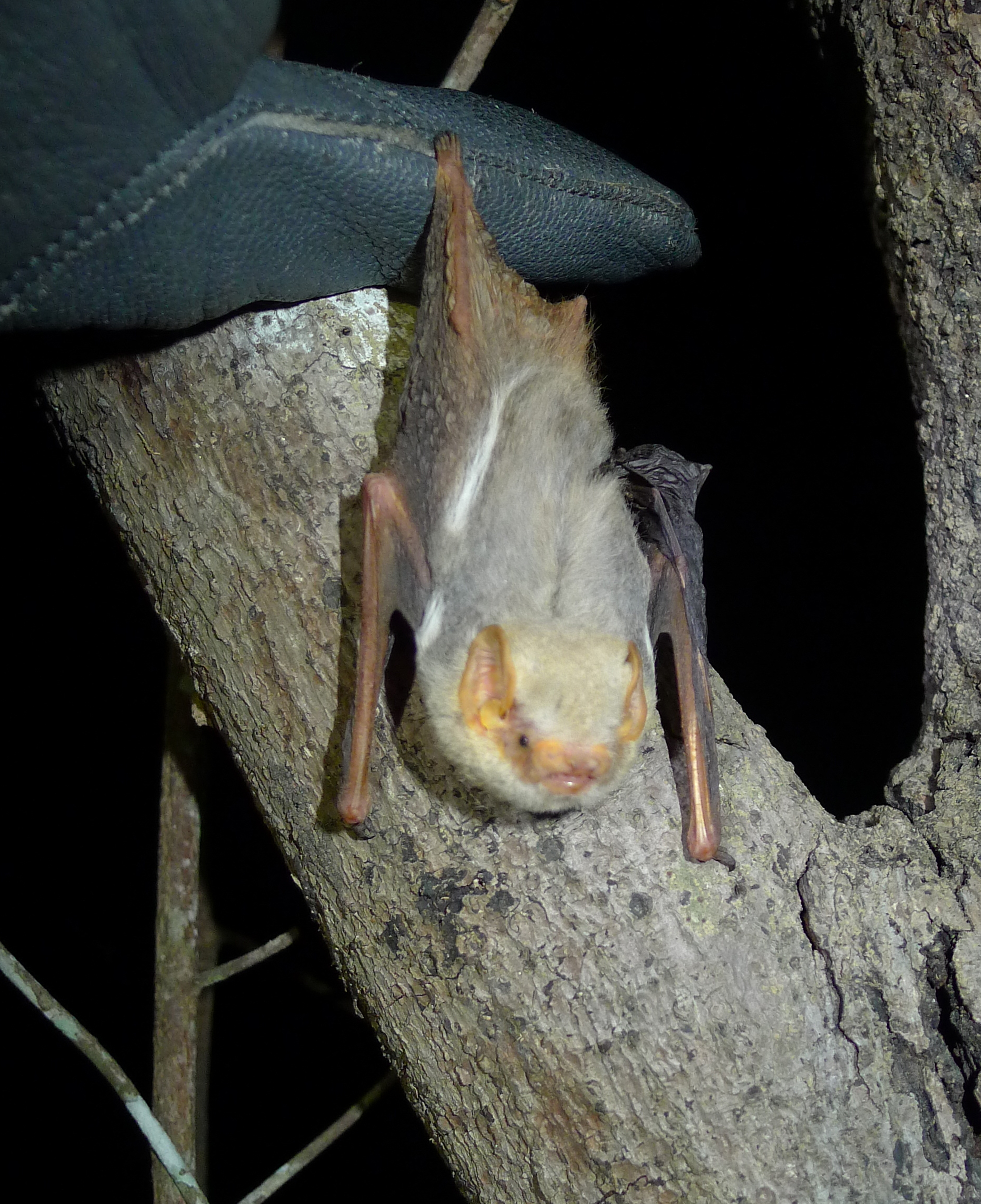 New records of bats and terrestrial small mammals from the