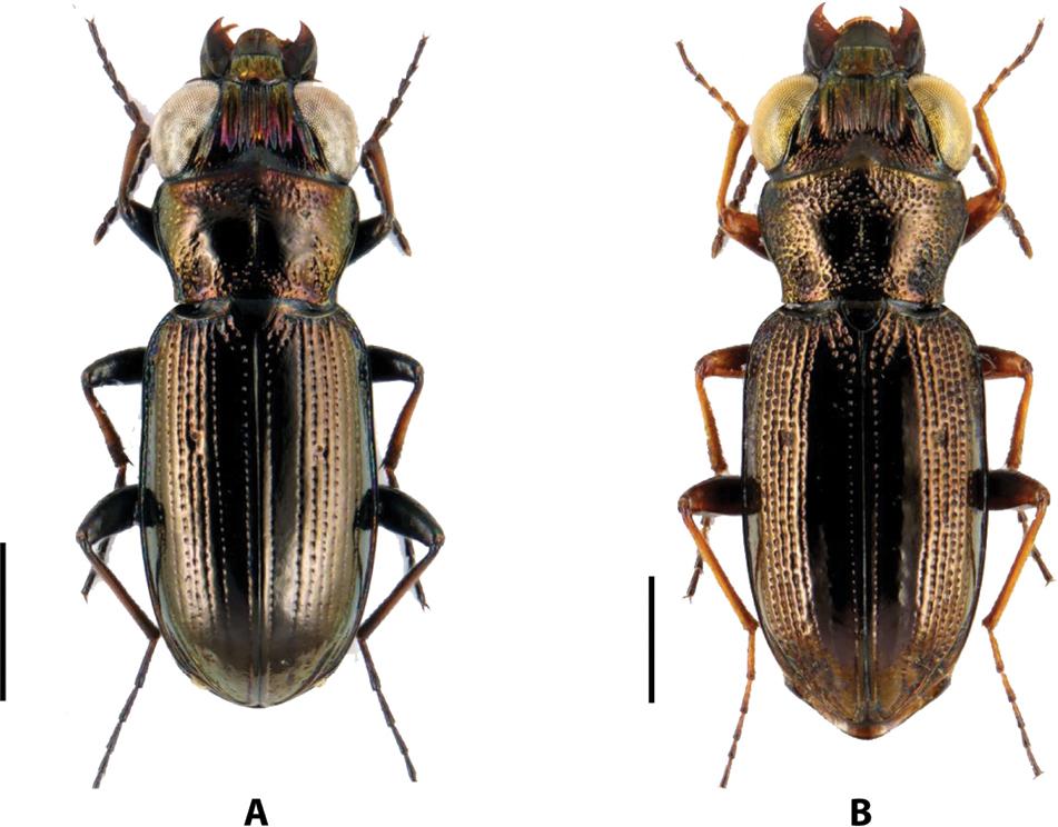 About Notiophilus Duméril, 1806 (Coleoptera, Carabidae