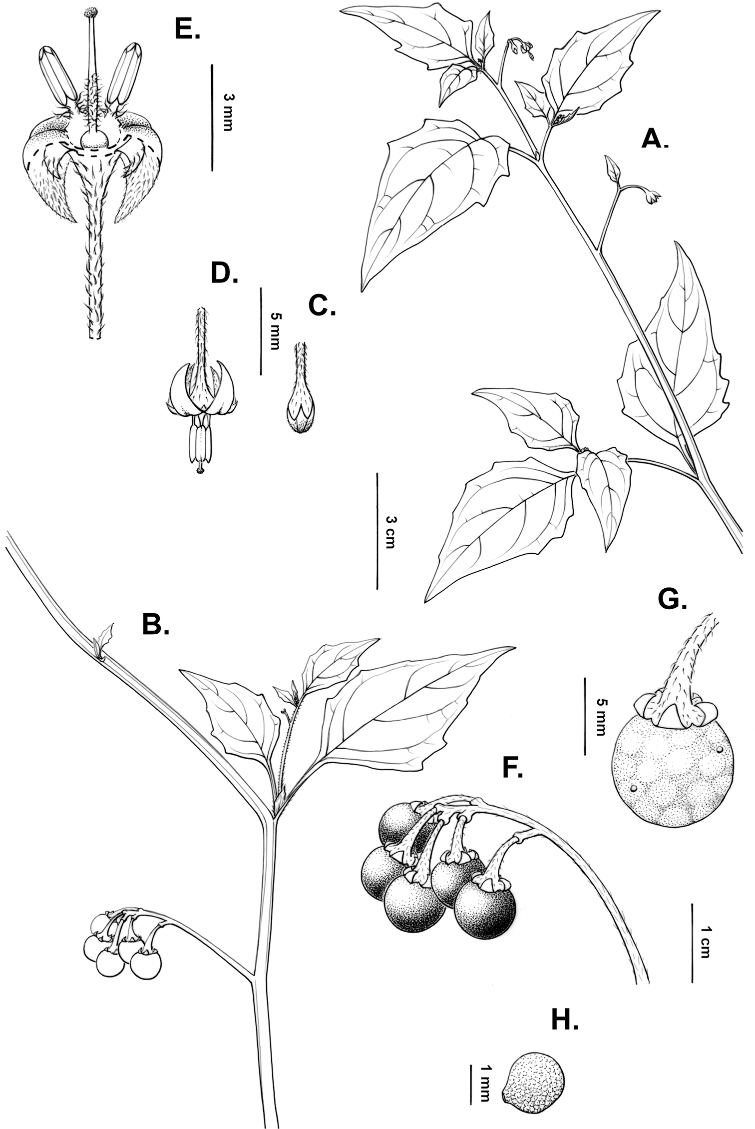 A revision of the Morelloid Clade of Solanum L  (Solanaceae) in