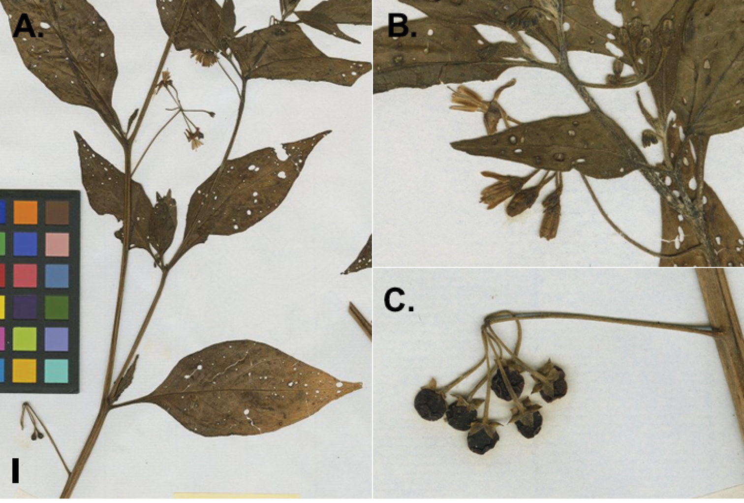 A revision of the Morelloid Clade of Solanum L  (Solanaceae