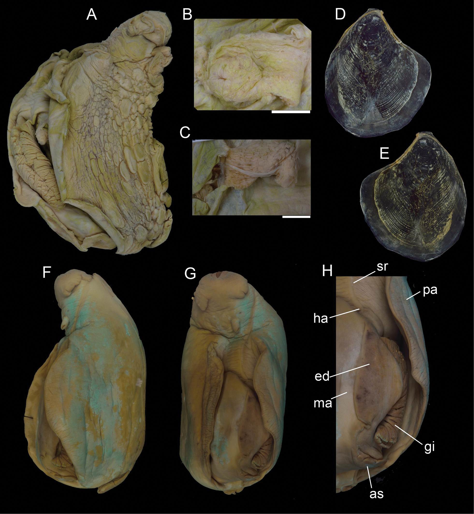 Type specimens of Aplysiida (Gastropoda, Heterobranchia) in
