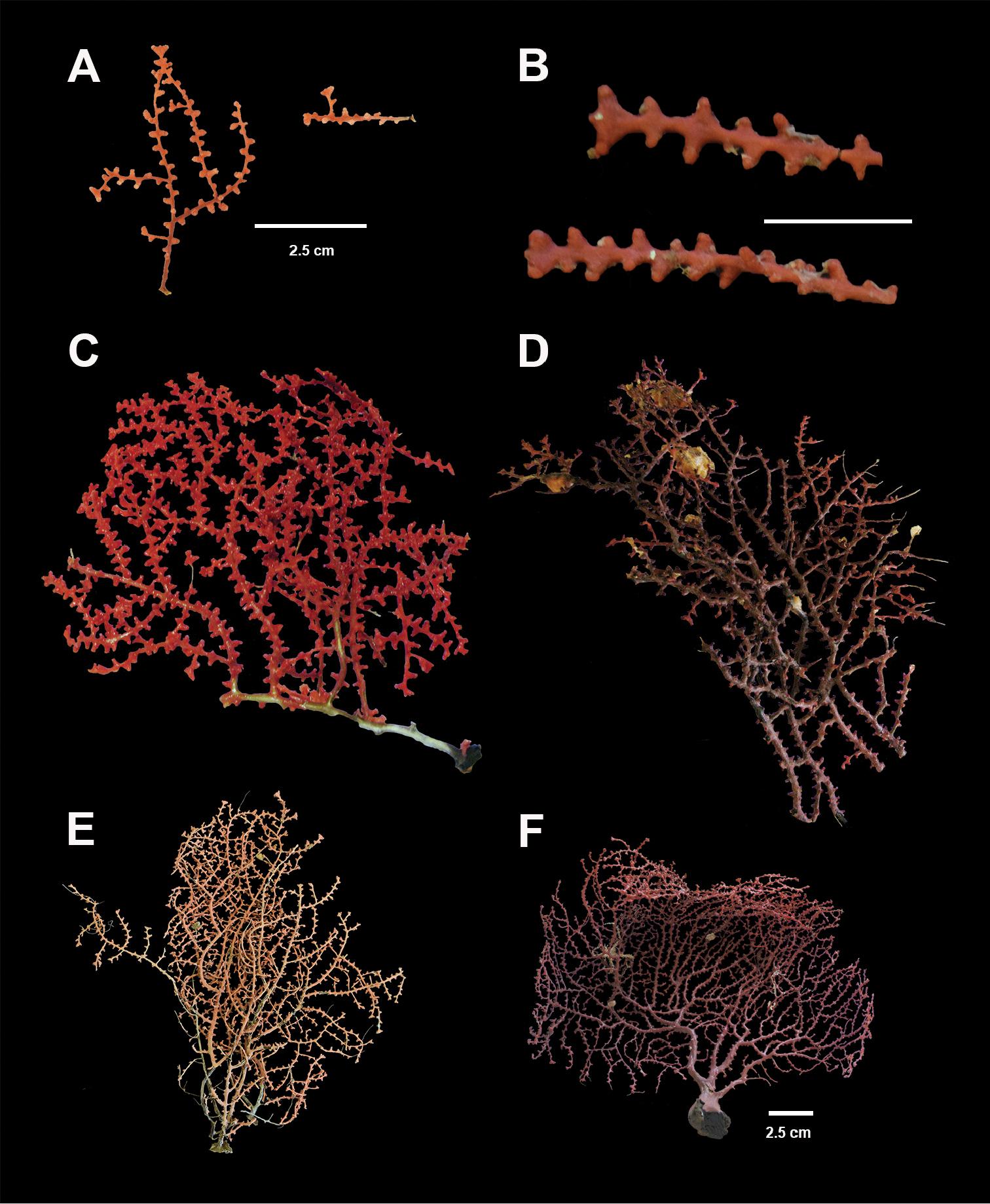 A review of gorgonian coral species (Cnidaria, Octocorallia