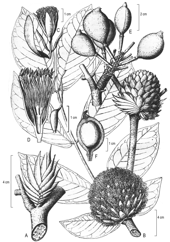 The rise of Cynometra (Leguminosae) and the fall of Maniltoa