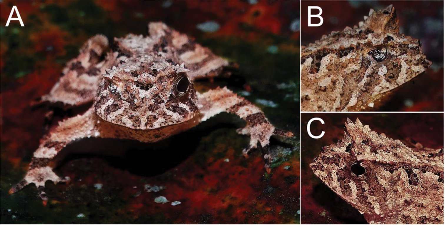 Malformation in three anuran species from a preserved