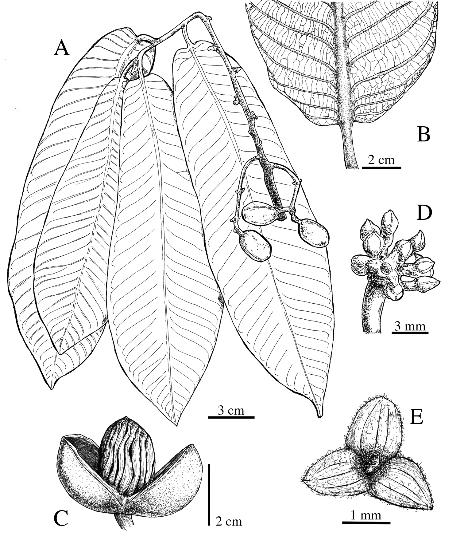A Taxonomic Synopsis Of Virola Myristicaceae In