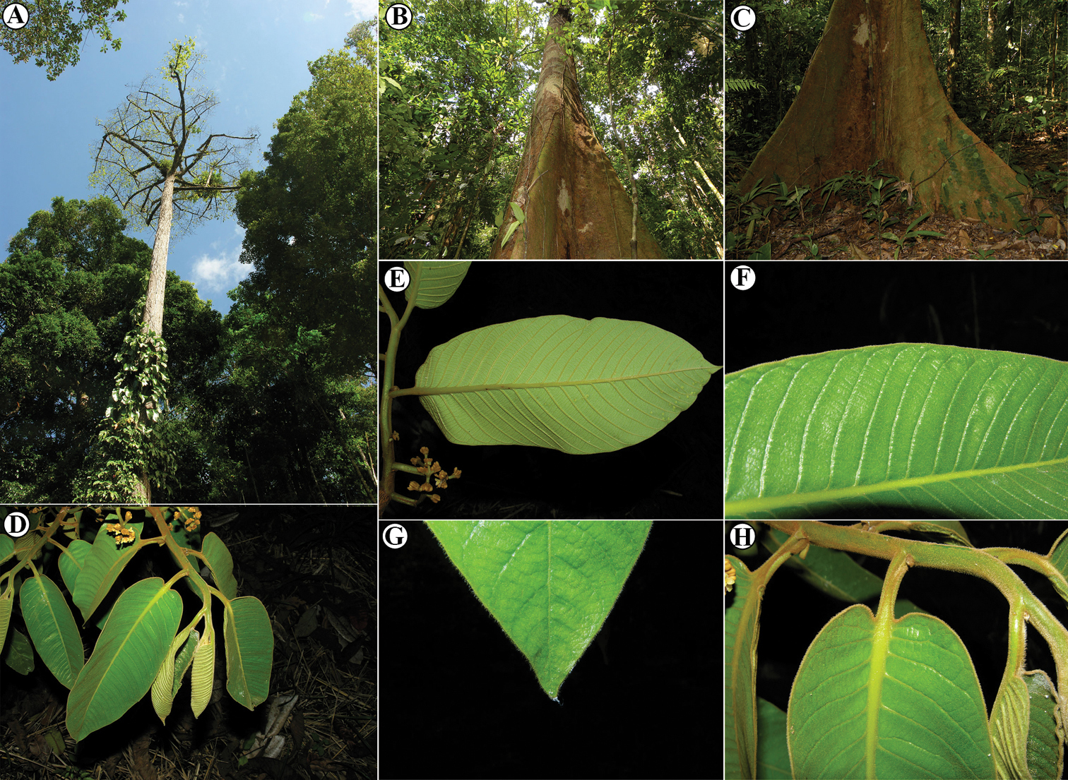 A Taxonomic Synopsis Of Virola Myristicaceae In Mesoamerica Including Six New Species