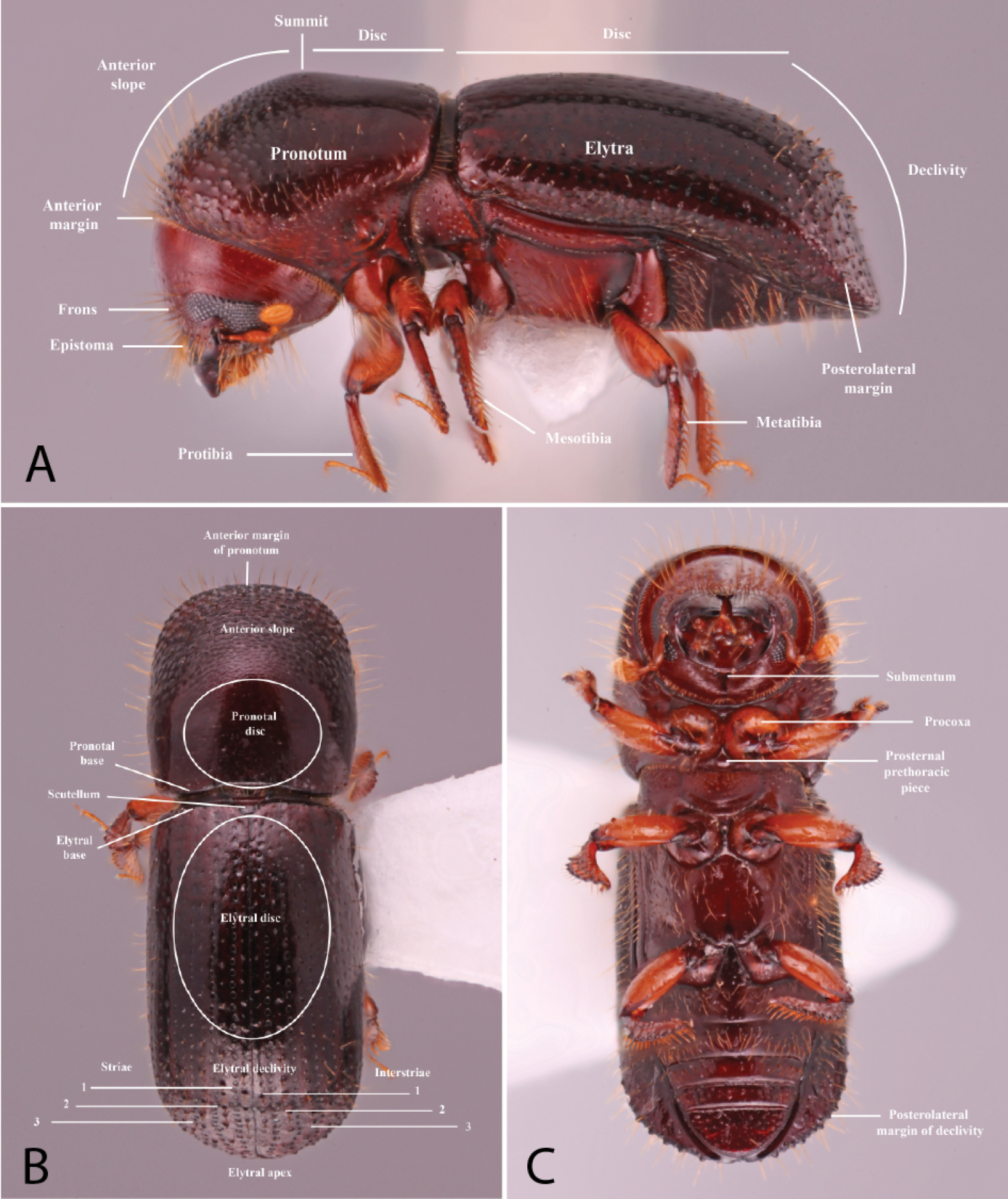 A Monograph Of The Xyleborini Coleoptera Curculionidae Scolytinae Of The Indochinese Peninsula Except Malaysia And China I thought that clamouring tin can was the last, but here we go again. curculionidae scolytinae