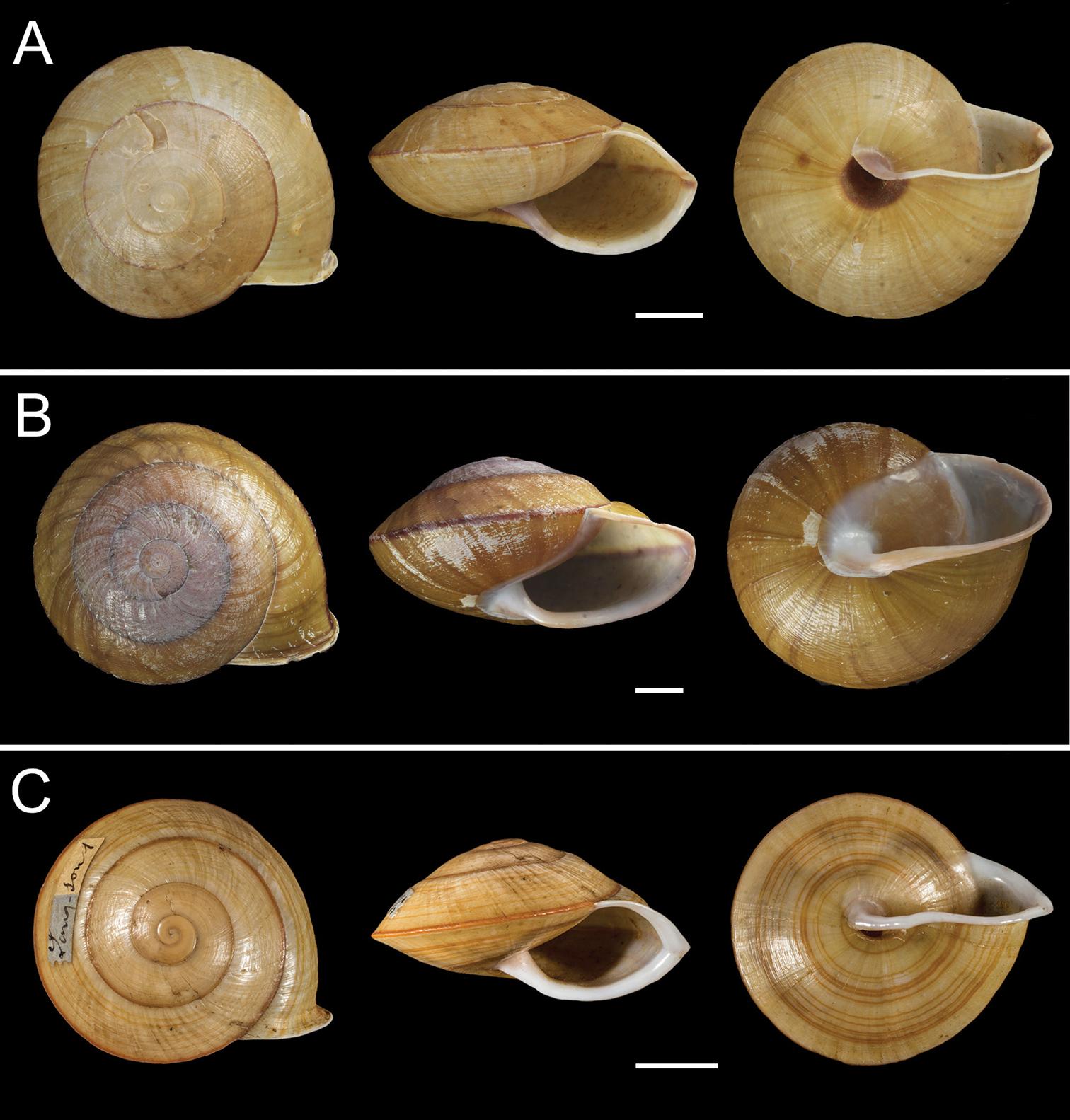 Slit snails breeding