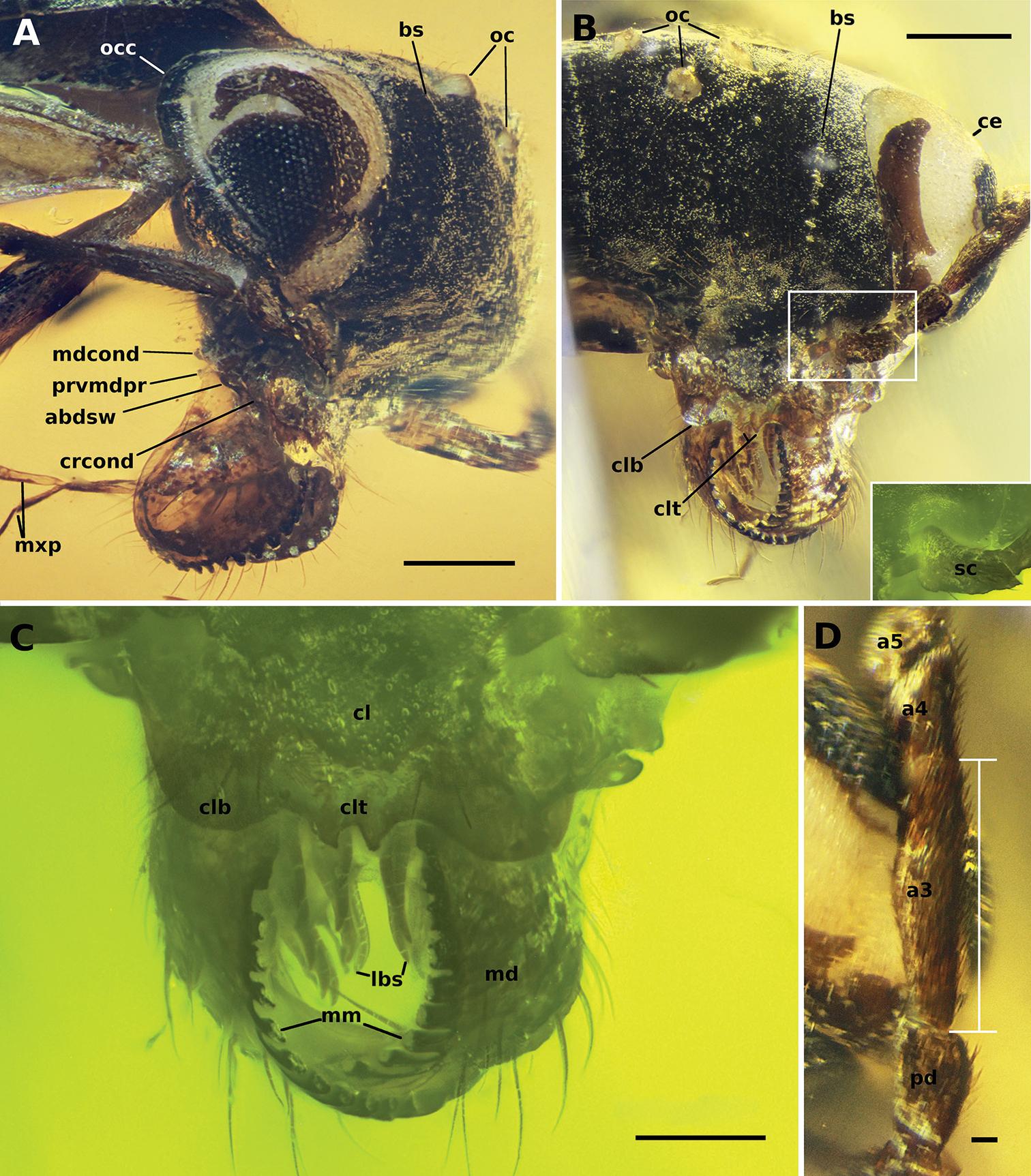 Microscope Slide Hymenopterans Honey Bee Composite w.m.