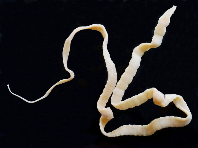 Image Result For How Many Tapeworms